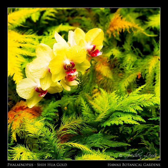 Phalaenopsis - Shih Hua Gold